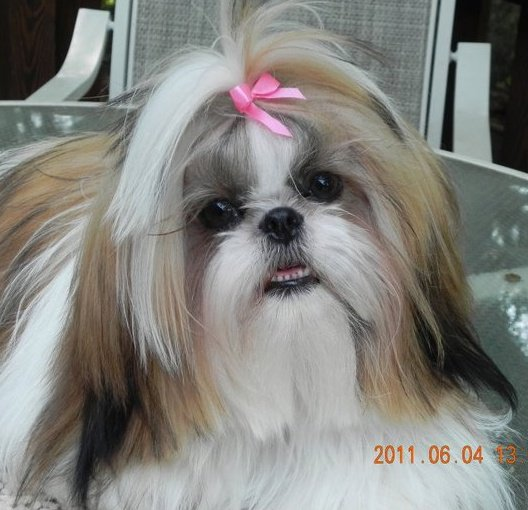 Shih Tzu Lovers Welcome Younorth Carolina Shih Tzu Pupps Welcome
