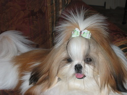 Imperial Shih Tzu In North Carolina Shih Tzu Lovers Welcome You
